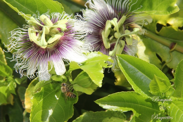 passionflower in bloom